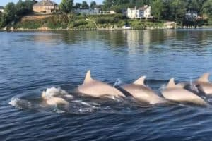 VIDEO: Dolphin Pod Wows Severn River, Sightings Rise Baywide