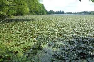 Invasive Plant Poised to Overrun Potomac Watershed