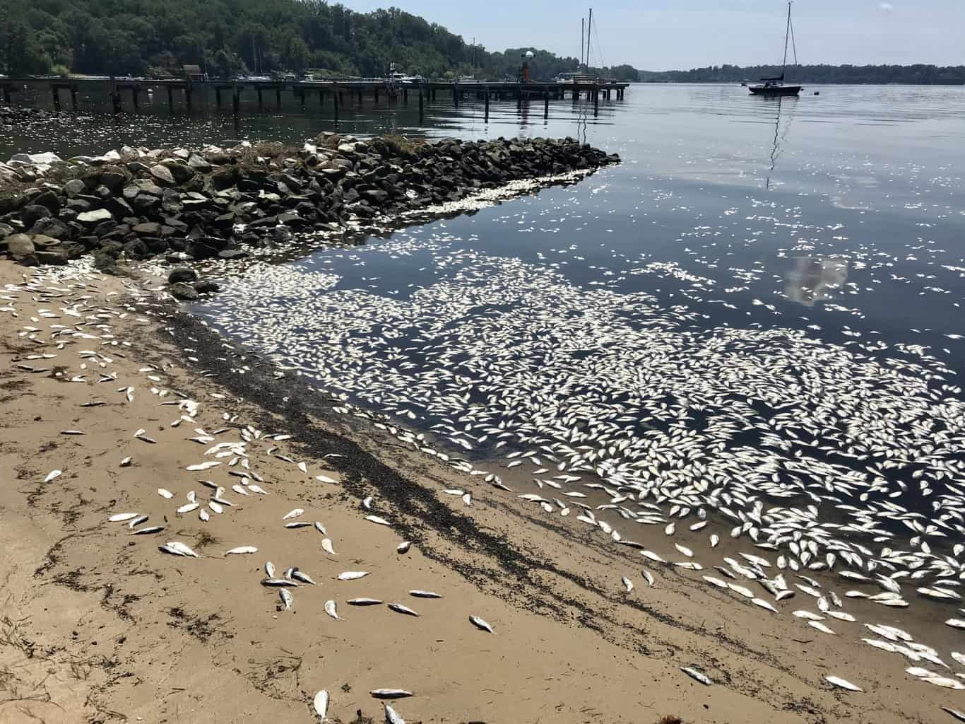 VIDEO: 10K Fish Dead on Severn River Due to Isaias