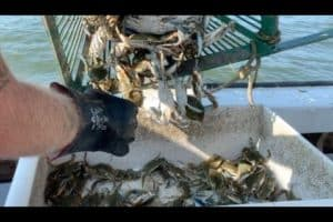 VIDEO: Late Chesapeake Crab Season Looks Promising