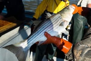 Va. Nixes Striped Bass