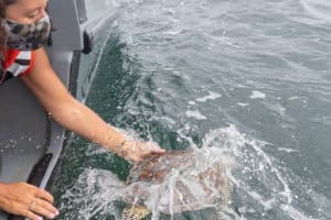 Aquarium Releases 3 Rescued Sea Turtles, Gears up for Cold-Stun Season