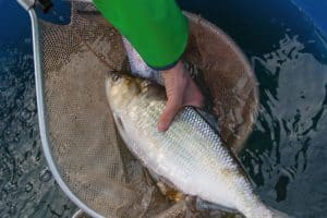 Study: Shad Recovery Efforts Aren't Paying Off