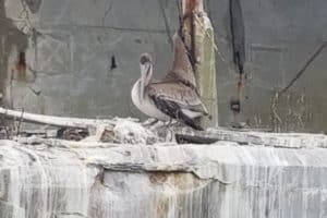 Trapped Pelican Rescued from Kiptopeke Ship