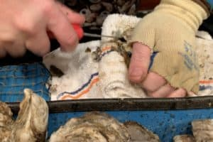 VIDEO: Oyster Shuck-a-Thon Record Attempt