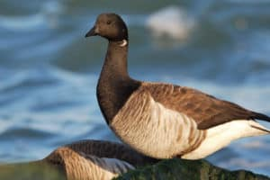 Eelgrass Restoration Brings Long-Lost Goose Species Back to Va.'s Eastern Shore