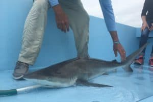 Smithsonian Researchers Track Endangered Shark Species