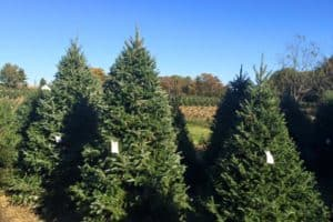 Bay-Region Christmas Tree Farms Sales Jump in 2020