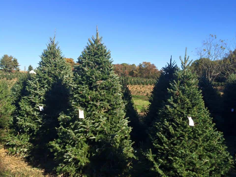 Bay-Region Christmas Tree Farms Sales Jump in 2020 ...