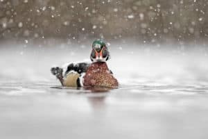 Restoring the Bay's Wood Ducks