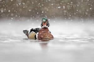 Restoring the Bay's Wood Ducks