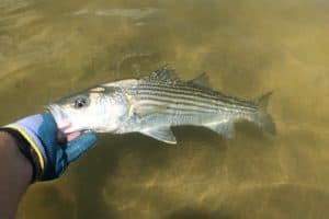 Md. Proposes July Closure to 2021 Rockfish Season