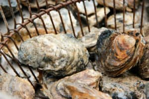 St. Marys River Sewage Overflow Shuts Down Oyster Harvest
