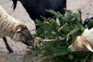 VIDEO: Recycled Christmas Trees Gifted to Upper Bay Zoo