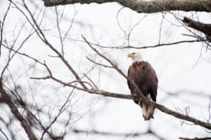 Bald Eagle Shot near Gunpowder River Under Investigation
