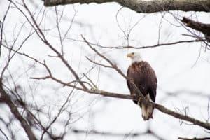 Bald Eagle Shot near Gunpowder River Under Investigation