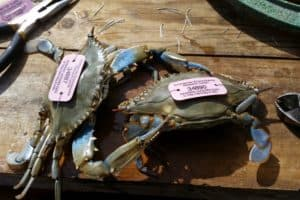 Study: Md. Recreational Crab Harvest Underestimated