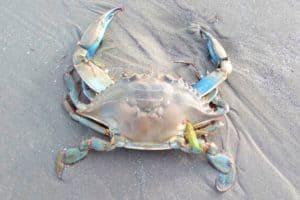 1st Chesapeake Blue Crab Found on Ireland Coast