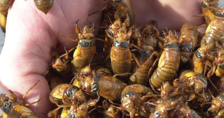 Cicadas are Coming: What to Expect in the Bay Region