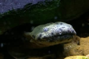 Susquehanna Groups to Sue Fish & Wildlife Service over Hellbender Protection