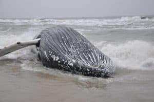 Well-known Humpback Whale Strands and Dies at Assateague Island