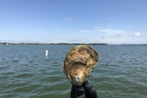 Study: Stressed, Young Bay Oysters Grow Less Meat