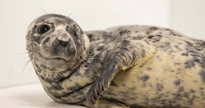 Seal Pup Separated from Mother, Rescued from Cape Henlopen