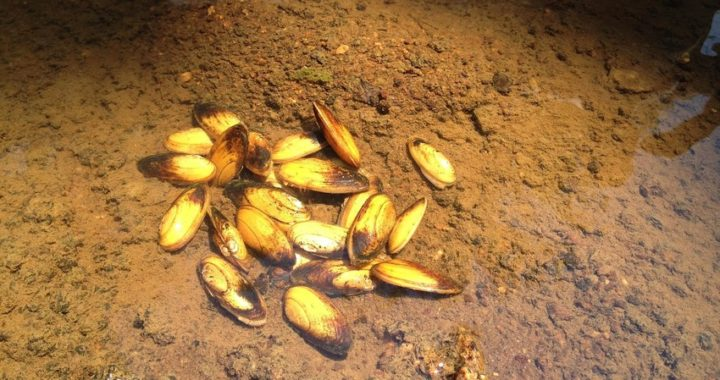 Freshwater Mussel Gets Endangered Species Protection