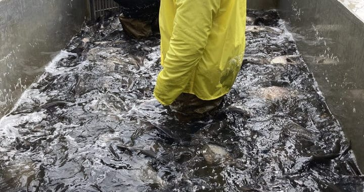 Invasive Fish Pulled from Conowingo Lift Go to Md. Food Banks