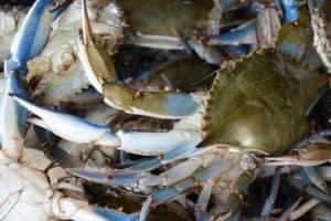 Winter Crab Survey Results Mixed: Low Juvenile Crab Count, Females Plentiful