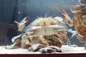 Rare Male-Female Crab Finds Home at Lower Eastern Shore Museum
