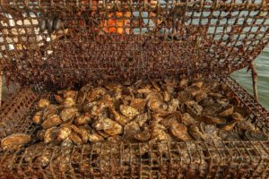 $1 Million Study to Save Bay Oysters from Acidification