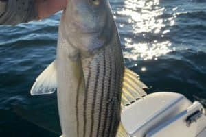Striped Bass Fishery Managers Zero in on Conservation at May Meeting