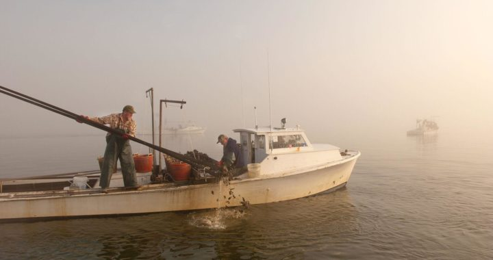 Md. Considers Easing Oyster Harvest Limits