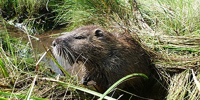 Va. On Alert for Invasive Nutria