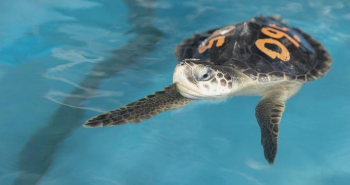 Sea Turtle Rescues Rise; National Aquarium Calls for Federal Funding