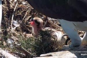 VIDEO: Popular Webcam Ospreys Welcome Baby