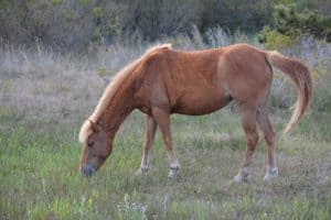 Assateague Pony Killed, Foal Injured by Hit & Run Driver