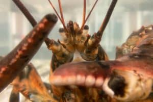 VIDEO: Rare Calico Lobster on Display in Va., Saved from Red Lobster Dinner