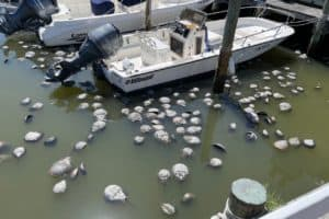 What's Causing Horseshoe Crab Die-off in Ocean City?