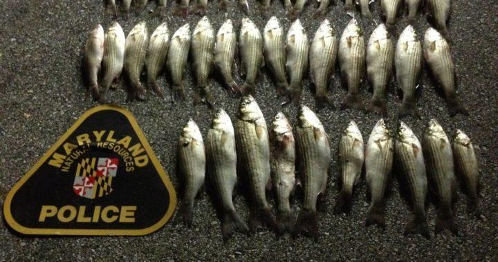 Tougher Md. Rockfish Poaching Penalties Proposed