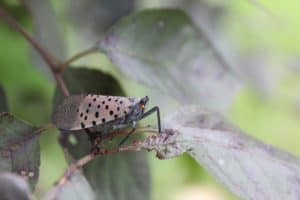 Invasive Spotted Lanternfly Widens Range in Md.'s Bay Watershed