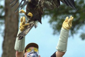 Tornado-Injured Bald Eagle Treated, Set Free on Rappahannock Tribal Land
