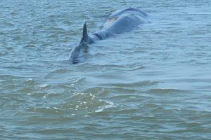 57-Foot Endangered Whale Beaches, Dies at Cape Henlopen