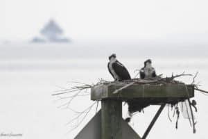 Cove Point Ospreys Euthanized for Light Pole Maintenance
