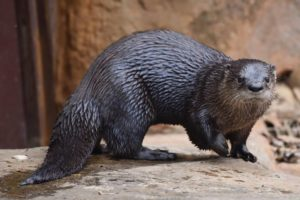 Md. Zoo Otters to Get COVID Vaccine; Is Bay Wildlife at Risk?