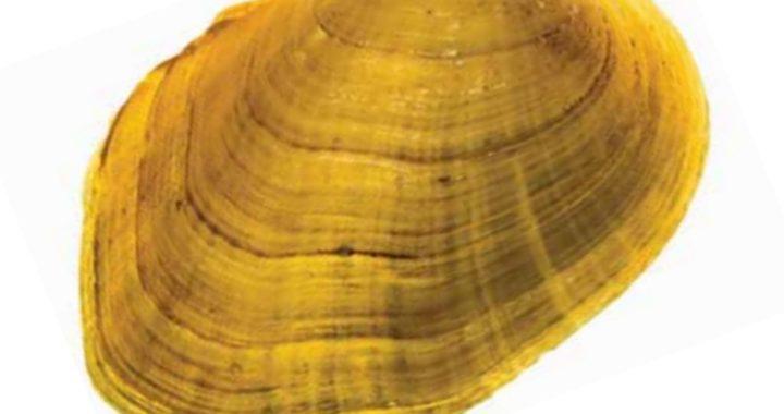 Va. Freshwater Mussel Among 23 Species Declared Extinct