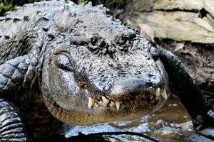 Second Southern Md. Alligator Eludes Capture